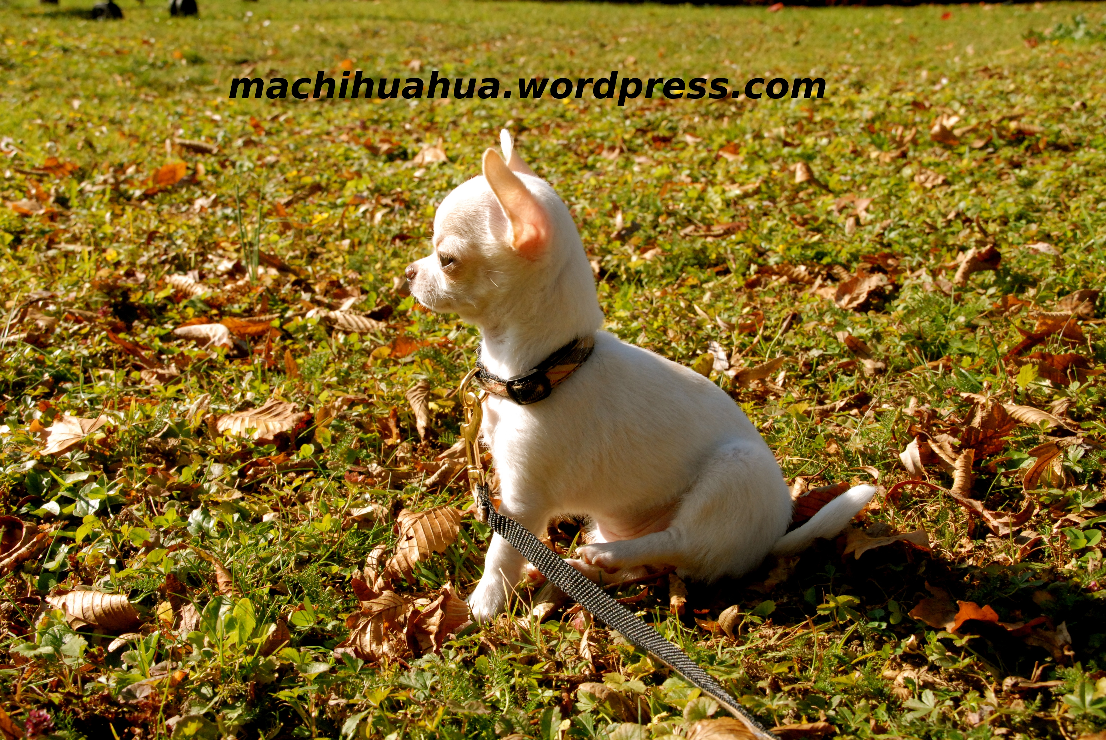dressage chien « Blog chihuahua photos et video chiwawa chiot chien ...