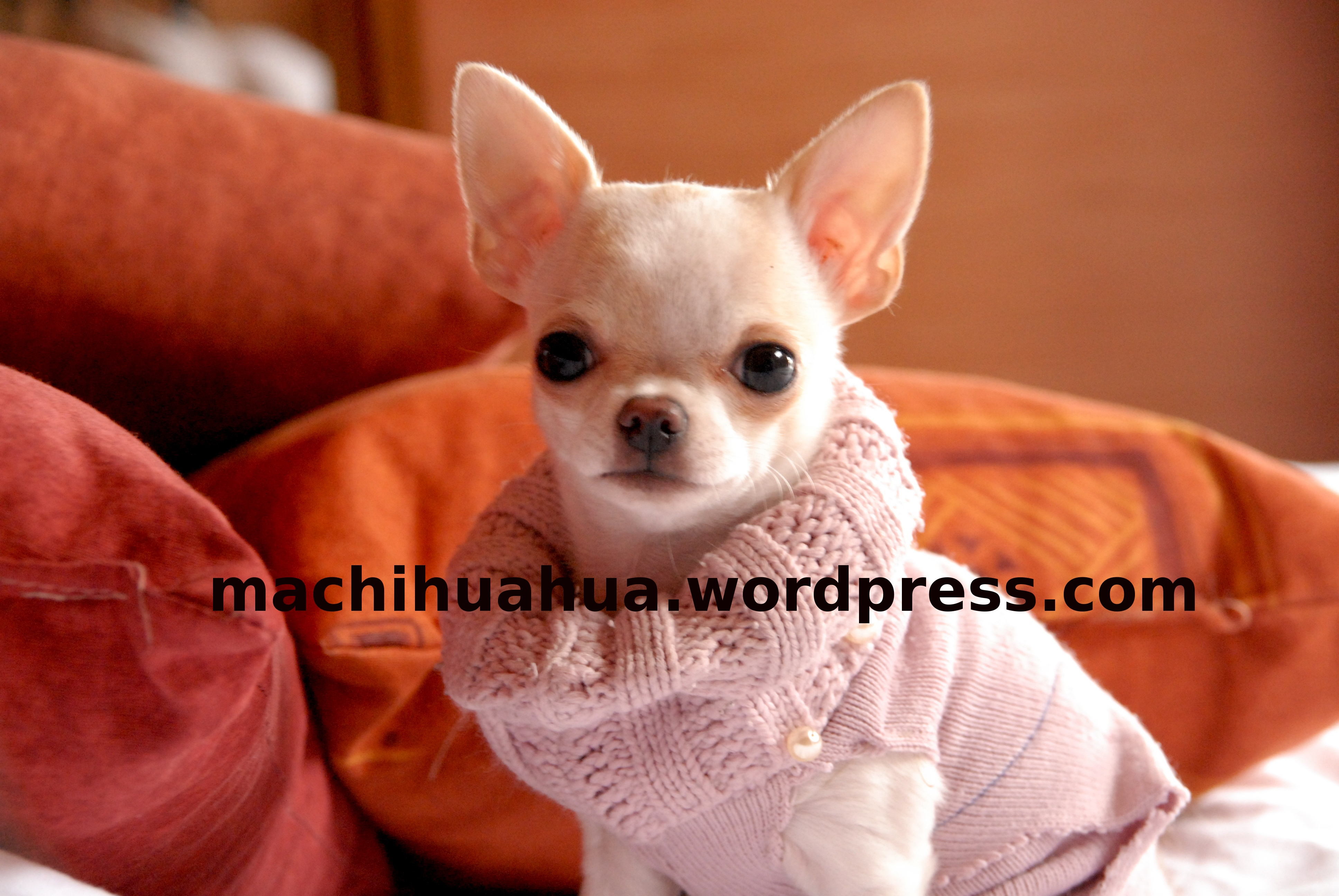v tements pour chihuahua blog chihuahua photos et video chiwawa chiot chien sur machihuahua. Black Bedroom Furniture Sets. Home Design Ideas