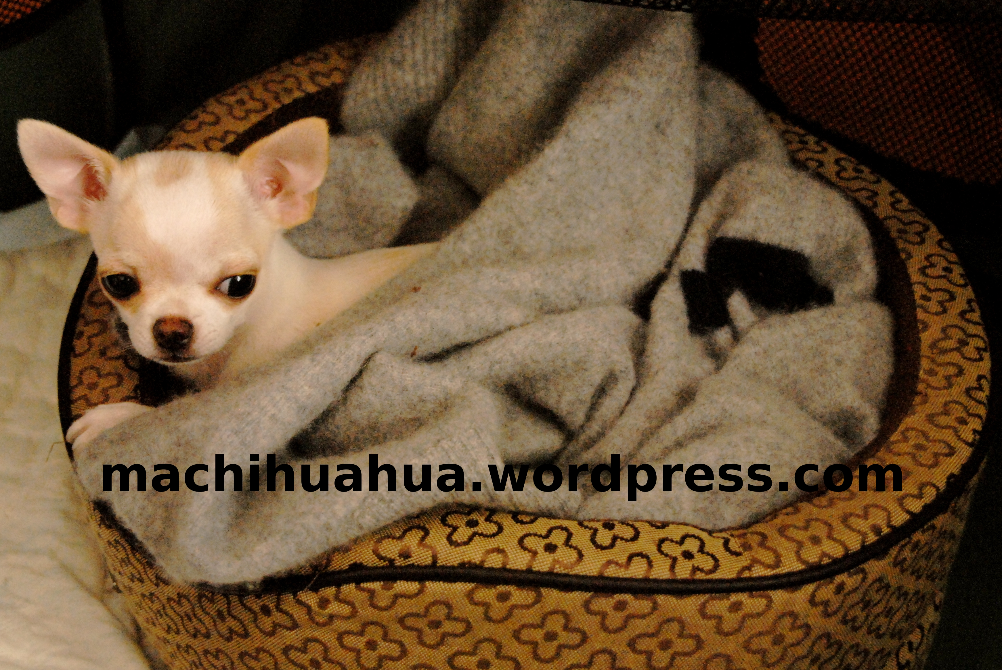 mettre un manteau son chihuahua blog chihuahua photos et video chiwawa chiot chien sur. Black Bedroom Furniture Sets. Home Design Ideas