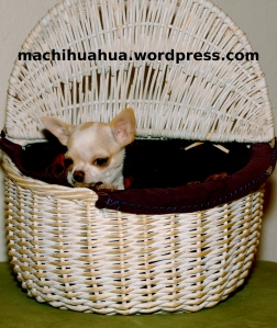 panier pour chihuahua blog chihuahua photos et video chiwawa chiot chien sur machihuahua. Black Bedroom Furniture Sets. Home Design Ideas