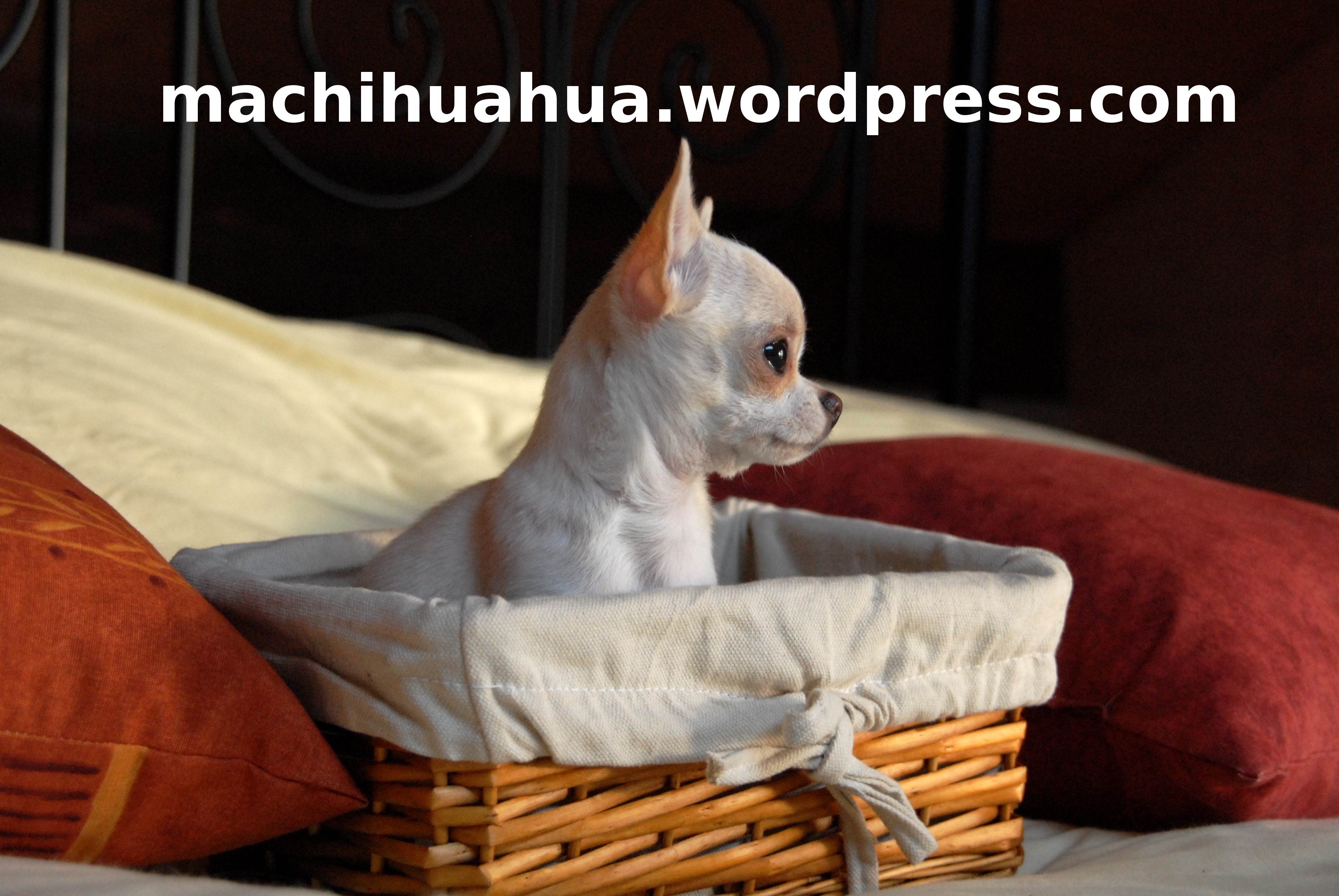 coussin pour chihuahua blog chihuahua photos et video. Black Bedroom Furniture Sets. Home Design Ideas