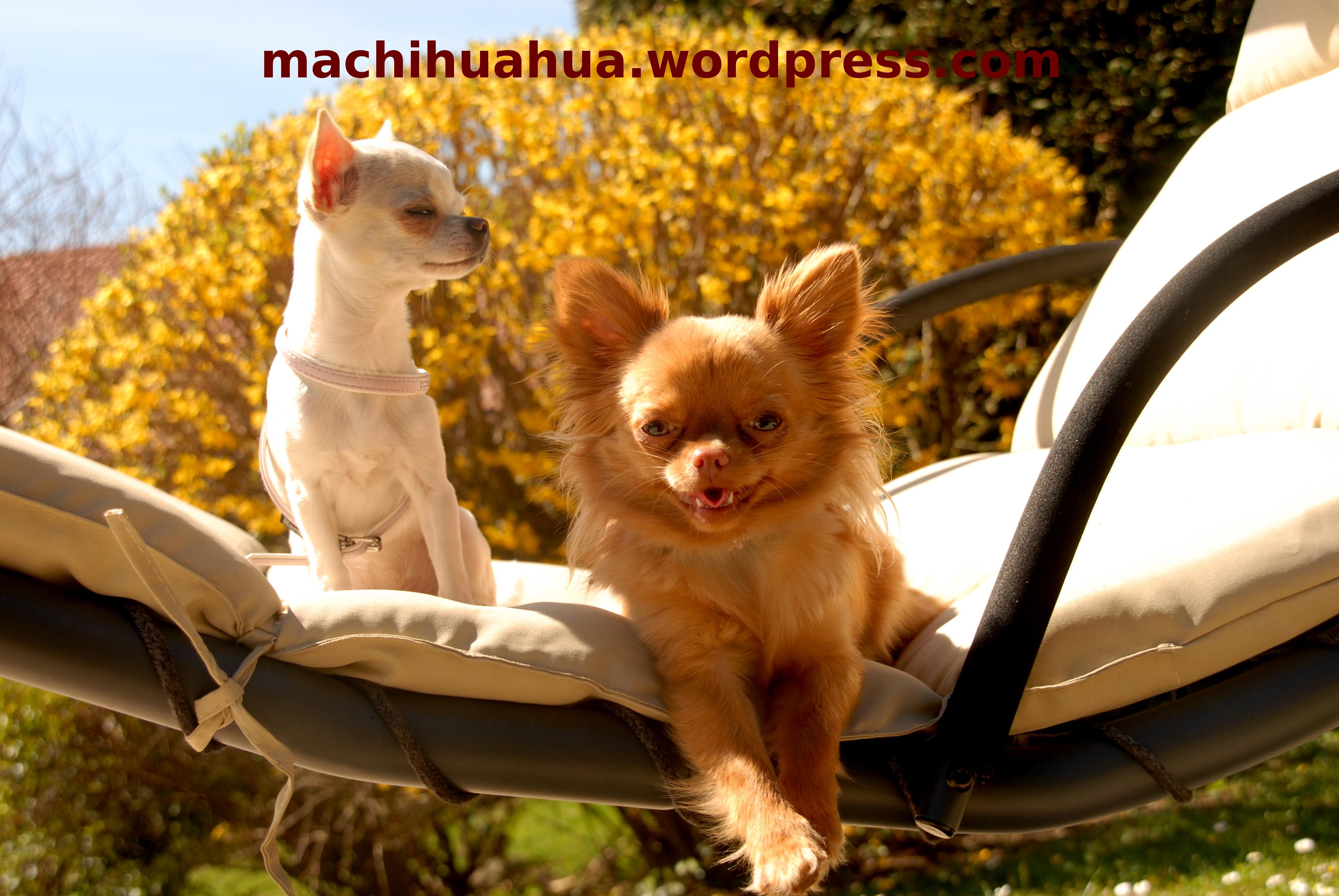 différence entre chihuahua à poils longs et courts   Blog
