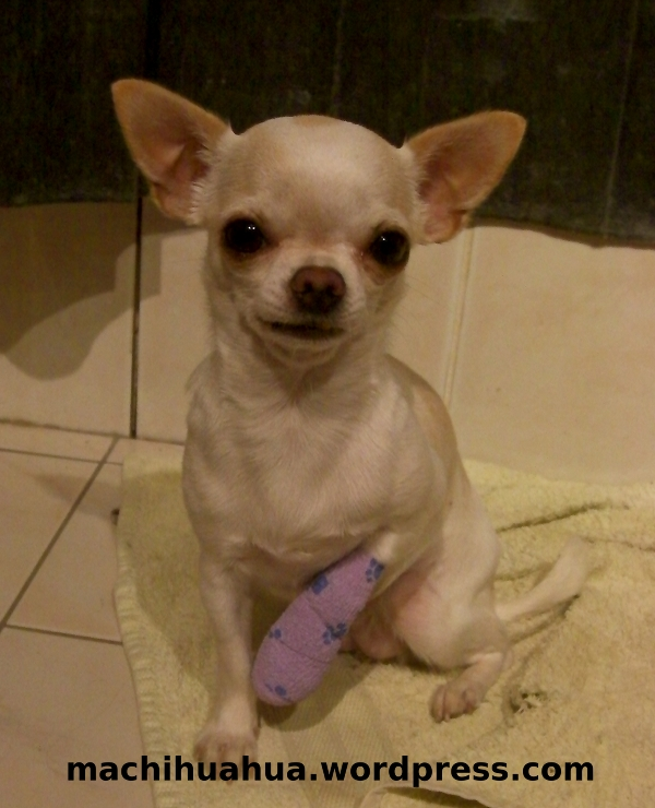 Informations sur le chihuahua blog chihuahua photos et - Comment couper les griffes des chiens ...